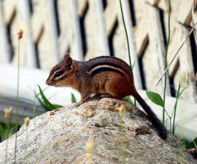 Chipmunk Trapping and Control
