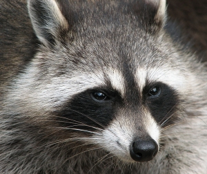 Raccoon (The Masked Bandit)