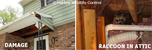 Raccoon Control And Removal Services In Monmouth Somerset