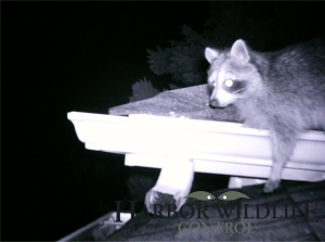 Raccoons are excellent Climbers