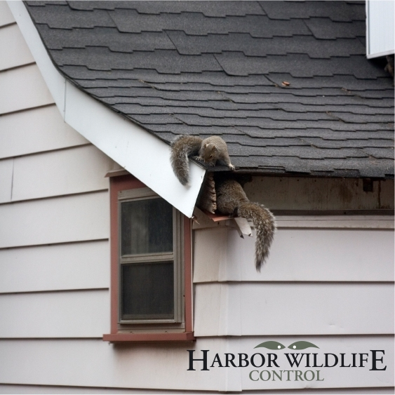 Gray Squirrel in Attic and Damage to Roof